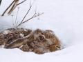 Feldhase / Brown Hare - (European Hare) / Lepus europaeus